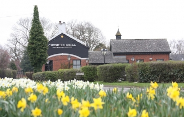 Daffodils in the grassed area outside the Cheshire Grill Lach Dennis